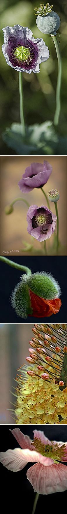 Beautiful Blooming Purple Poppy | Flowers